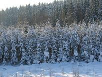 Noin 30-vuotias 3-metriin karsittu metsämäntyala 2010