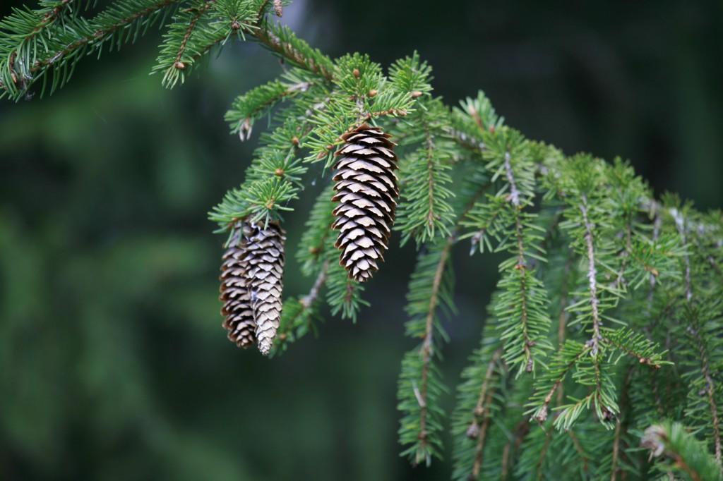 Metsäkuusen (Picea abies) kävyt