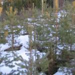 Metsämännyn (Pinus sylvestris) koe-siemenviljelys 358 Nurmijärvi