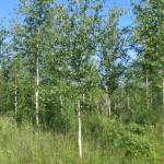 Visakoivumetsikköä (Betula pendula var. carelica)  heinäkuussa 2005