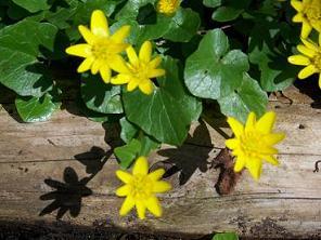 Ranunculus ficaria - mukulaleinikki