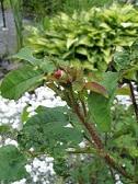 Rosa Centifolia-ryhmä muscoca 'Björlund' - sammalruusun 'Björlund' nuppu